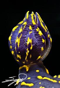 "The gills of Cryptobranch dorid nudibranch ""Hypselodoris ... by Nicholas Samaras"