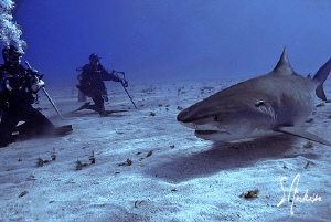 This image is of a Tiger Shark that spent nearly 8 hours ... by Steven Anderson