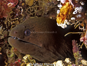 Portrait of a morayeel by Alberto Romeo
