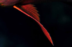 Fin of a Paddletail Snapper by Paul Colley