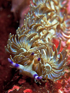 Pteraeolidia ianthina, Clovelly by Doug Anderson