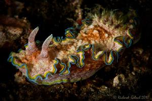 Glossodoris Cincta by Richard Goluch