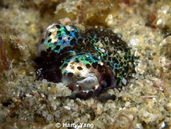 Bobtail Squid~    Casio EX-Z1000 by Harry Yang