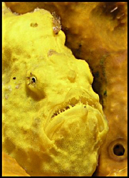 Long-lure Frogfish (Antennarius multiocellatus), Little B... by Thomas Dinesen