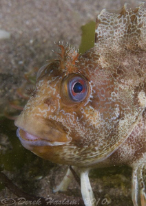 Tompot blenny. Babbacombe. Devon. D200, 60mm. by Derek Haslam
