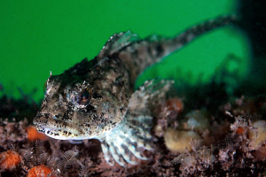 Long  Spined  Sea Scorpion (Taurulus bubalis) Trefor Pier... by Jim Garland