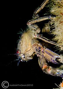 Velvet swimming crab on pier leg. Trefor Pier, N. Wales.... by Mark Thomas