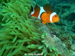 Clown Fish (everyone fav) by Tony Ronald