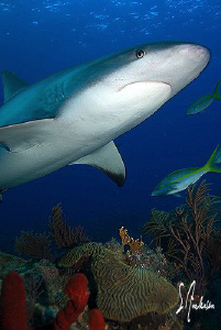Reef Sharks cruising the reef at Ginormous and investigat... by Steven Anderson