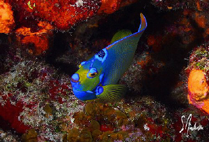 This image of a Queen Angel was taken during a dive at on... by Steven Anderson