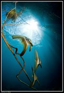 batfish 2 by Dray Van Beeck