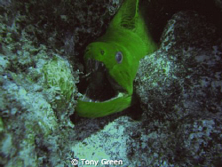 Another Green Moray saying hi at Cayo Levantado off the c... by Tony Green