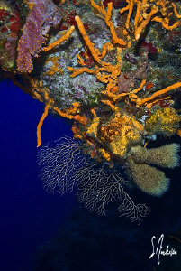 Diving along the wall of Palancar always affords a view l... by Steven Anderson
