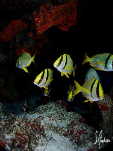 This image was taken while diving at Cedral Shallow off C... by Steven Anderson