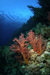 Typically colourful Red Sea soft corals. by Paul Colley