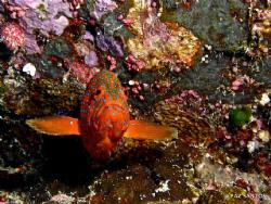 Coral Grouper @ the German Channel by Paz Maria De Vera-Santos