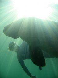 Manate and free diver, Crystal River, Florida. by Marko Wramén