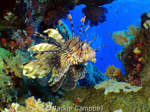 Lionfish in natural coral window.
