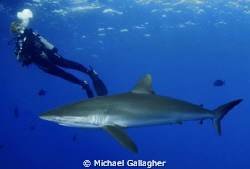 Close encounters with silky sharks, Sudan by Michael Gallagher