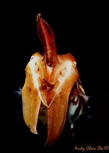 Baby Cuttle Fish - Padang Bai Canon G9 + Nikonos SB 105 by Andy Chan