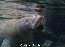 Manatee shot at Three Sister Spring Crystal River Florida by Steven Daniel