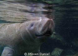 Manatee shot at Three Sister Spring Crystal River Florida by Steven Daniel