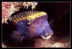 Black Boxfish.Nikon F100,f22,1/60,YS-120,RVP100. by Allen Lee