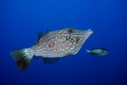 Scrawled Filefish. Roatan, HN by Jon Kreider
