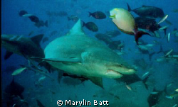Here's looking at you babe.  Shark giving us the eye by Marylin Batt