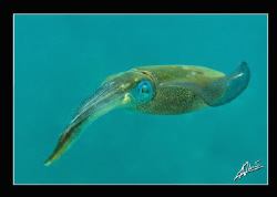 squid in Thailand are so shy! I was very surprised when t... by Adriano Trapani