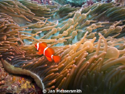 Spinecheek Anemonefish (Amphiprion biaculatus) living in ... by Jan Messersmith