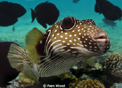 Zippy the Pufferfish.  Taken in Kona, Hawaii by Pam Wood