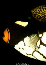 Clown triggerfish profile - one of my favourite fish... by Michael Gallagher