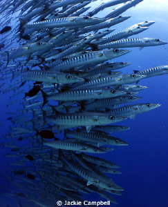 I have always dreamed of diving with a large school of ba... by Jackie Campbell