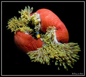 Red Anemone by Dray Van Beeck