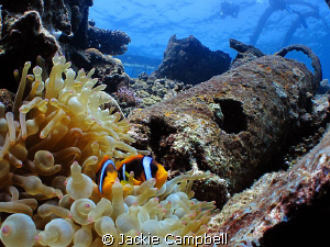 Clown fish on the Umbria.  by Jackie Campbell