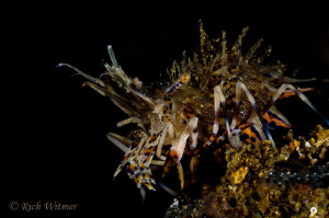 """Crouching Tiger"" Shrimp.  Night dive in Anilao.  Nikon D... by Richard Witmer"