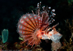 yaaawn... This lionfish probably got tired of waiting fo... by Yin Sern Lim