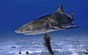 Lots of Lemon Sharks and they seem to pose a lot at Tiger... by Steven Anderson