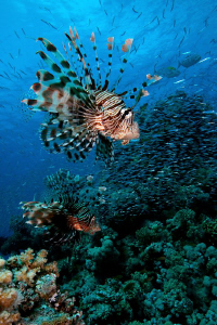 Predators, Lionfish (Pterois volitans), Red Sea, Egypt. by Jim Garland