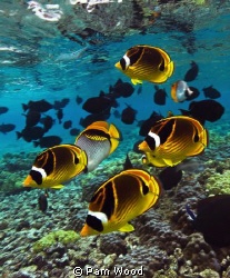 Racoon Butterfly fish.  Shot with my new Canon 5d Mark II... by Pam Wood