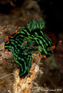 Pair of nudis- Nebrotha kubaryana by Richard Goluch