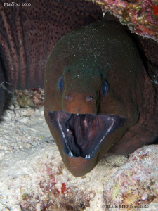 Say aahh... Giant moray eel. Canon G10. by Bea & Stef Primatesta