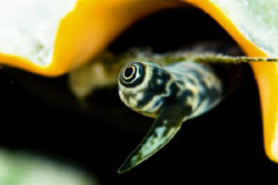 Conch eye taken with a 105mm VR lens and +3 diopter. by Paul Colley