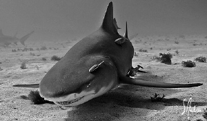 Lemon Sharks like to do their share of sniffing around fo... by Steven Anderson