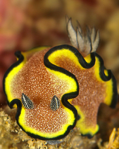 Glossodoris Cinta by Charles Wright