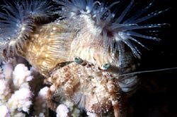 Hermit crab with anemonies. Sharm El Sheikh, Red Sea. Nik... by Lyubomir Klissurov