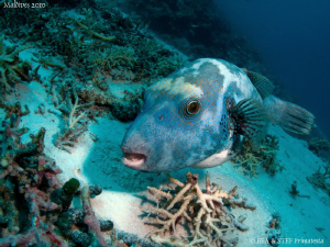 Pufferfish. Canon G10. by Bea & Stef Primatesta
