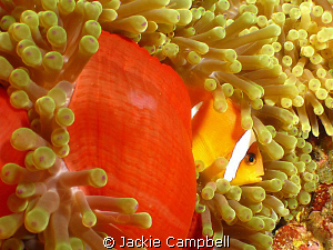 Clown fish are much easier to photograph at night when th... by Jackie Campbell