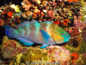 Parrot fish on the Umbria at night. Canon ixus 100 and d2... by Jackie Campbell